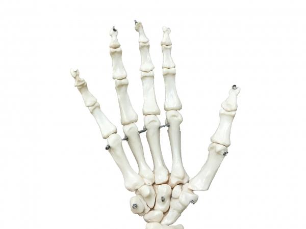 体の関節はいくつある?